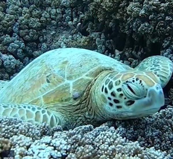 实拍澳海龟珊瑚丛中打盹 放松而惬意