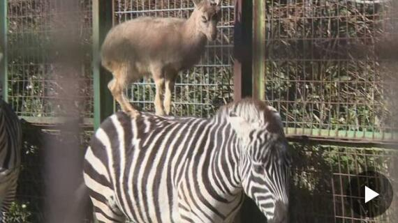 日本动物园一只山羊每天跳上斑马背竟坚持至今