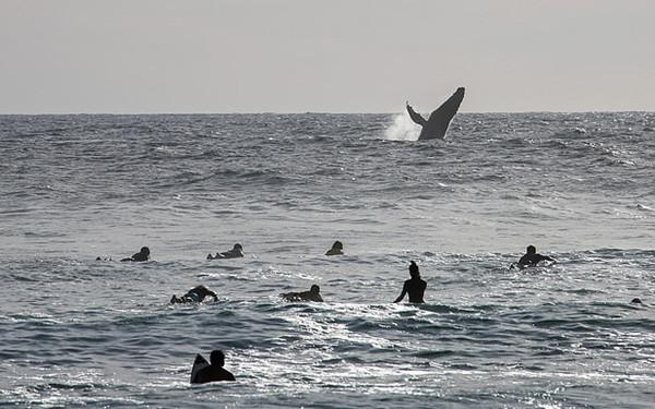 墨西哥一座头鲸跃出海面向冲浪者挥鳍示意