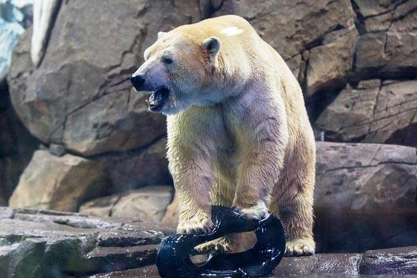 """北极熊""""梦龙""""武汉相亲"""