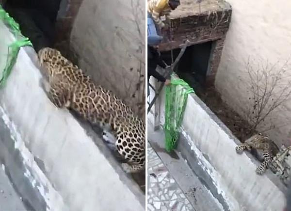 印野生豹狂袭人群致至少6人受伤 仍在逃窜