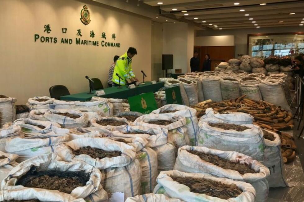 香港海关破获濒危动物走私 :穿山甲鳞片走私破纪录 还有1000多根象牙