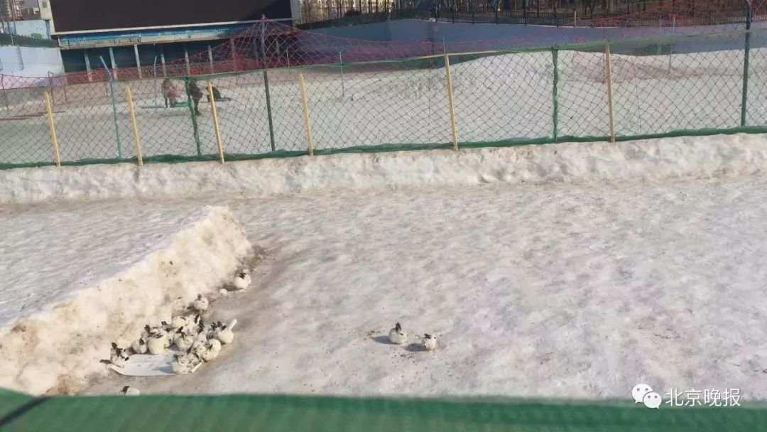 北京欢乐水魔方雪场养兔惹争议 园方:已紧急叫停