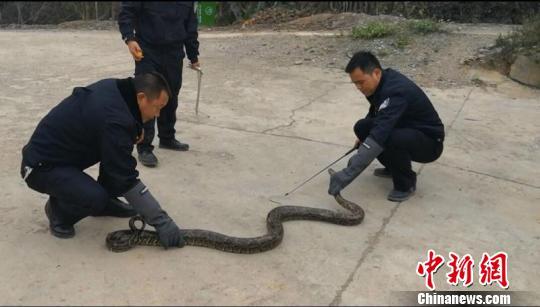 修路挖出2.4米长冬眠缅甸蟒 胆大村民将蟒蛇抱回村