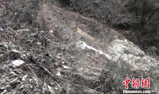 四川道孚县境内首次记录到金钱豹影像