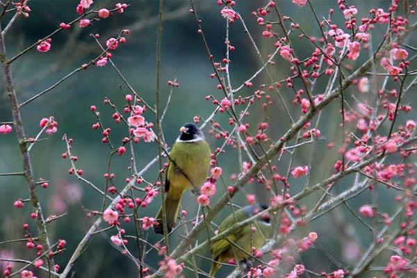 梅开时节鸟鸣春