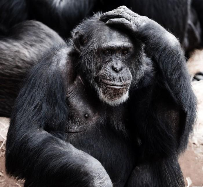 科学家发现猩猩可以像人类一样谈论过去