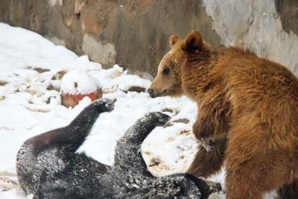 """迎瑞雪动物也""""疯狂"""" 无锡动物园上演""""熊""""之欢乐"""