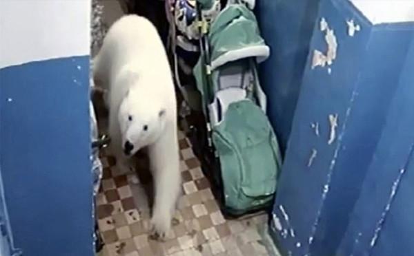 俄新地岛遭北极熊入侵 人类不敢外出