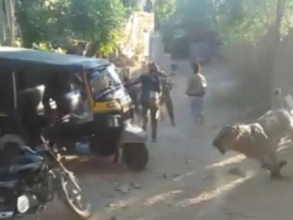 狮子闯进印度一村庄  村民们惊慌逃离
