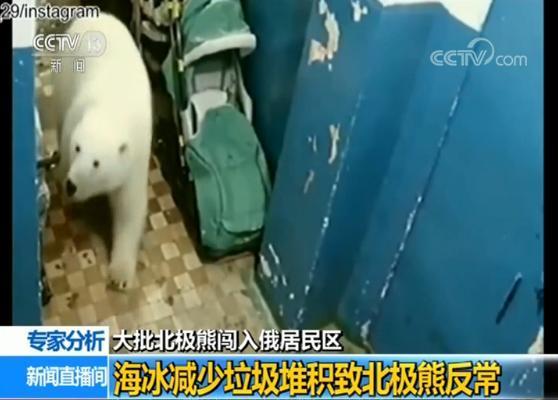 大批北极熊闯入俄居民区 海冰减少垃圾堆积致北极熊反常