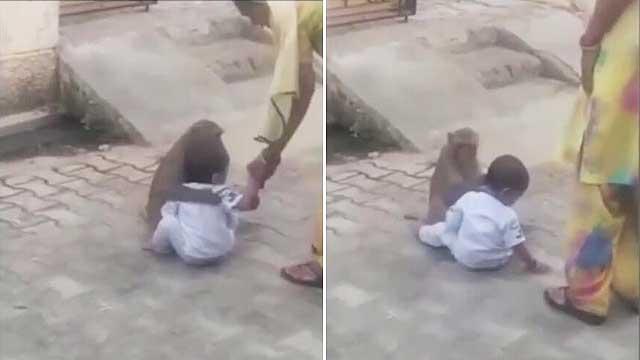 印度一只猴子绑架两岁儿童当玩伴 拒绝放手