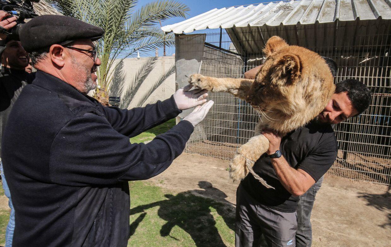 """为使游客与狮子玩耍,加沙一动物园给狮子""""去爪"""""""