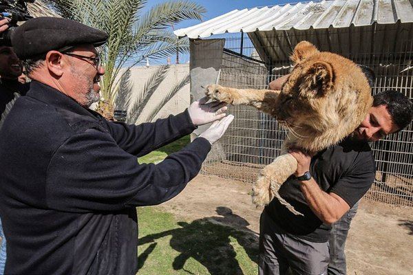 """为使游客与狮子游玩,加沙一动物园给狮子""""去爪"""""""