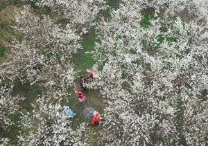 贵州大方:樱桃花开引客来