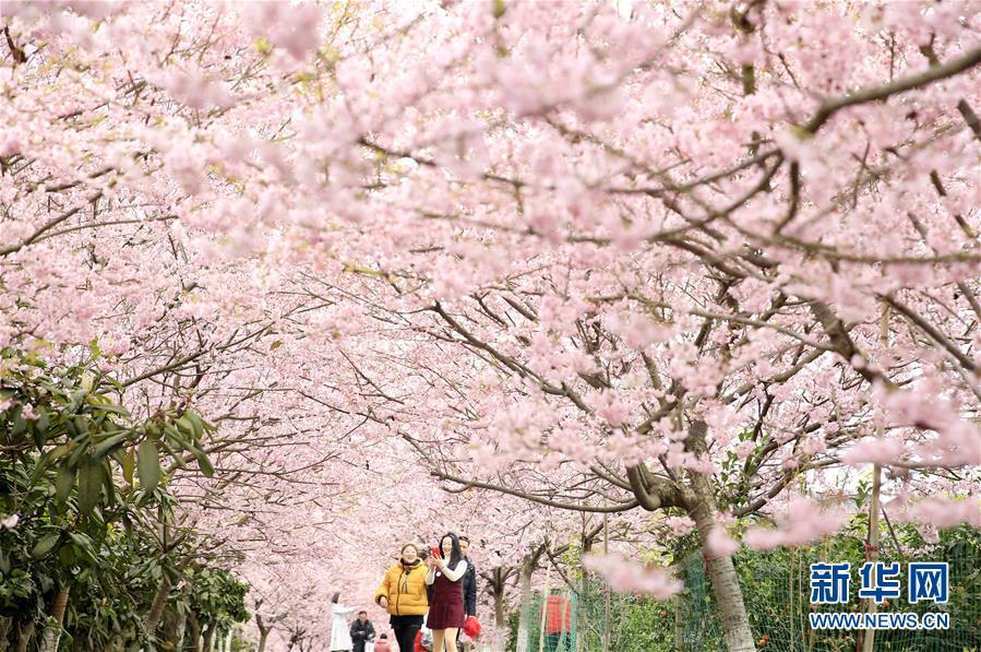 重庆北碚:春暖樱花开