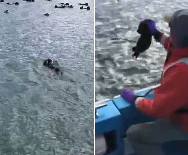 美救援人员播放小海獭叫声成功使海獭母女团聚