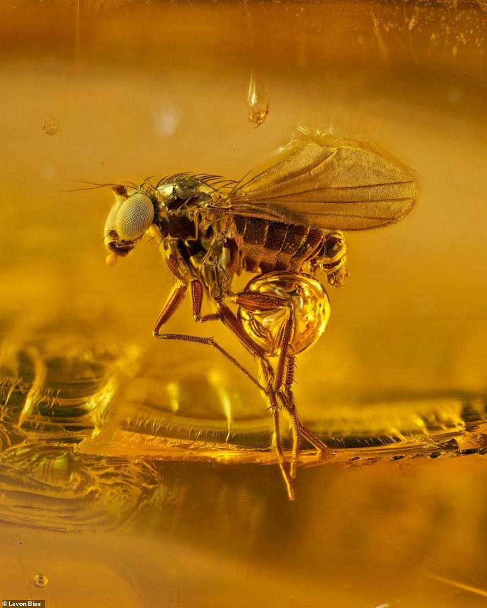 英摄影师公布4500万年前被封琥珀中古代昆虫照片
