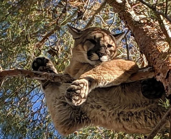 加州一美洲狮被困15米高大树 救援者注射镇静剂帮其脱困