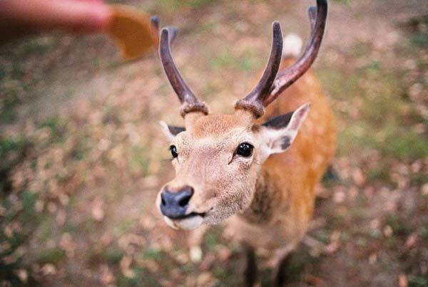 日本奈良鹿咬人创新高 奈良鹿伤