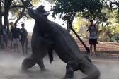 印尼两巨蜥为争夺雌性展开激烈打斗