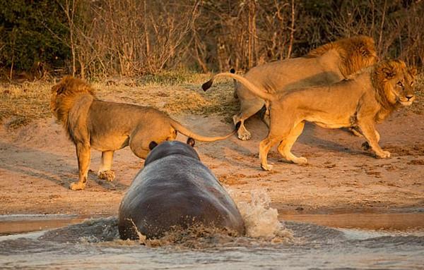 强悍!河马不惧狮群猛冲将其吓走重获领地