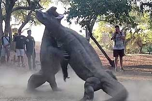 印尼两巨蜥为争取雌性睁开猛烈打架