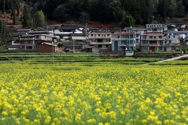 四川米易:油菜花开春意浓