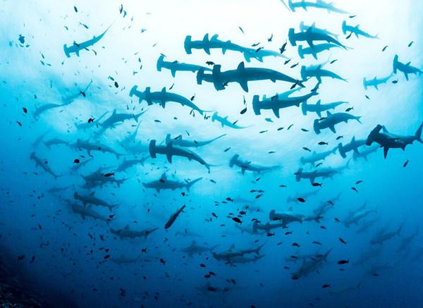 场面壮观!摄影师拍到数百锤头鲨齐游画面