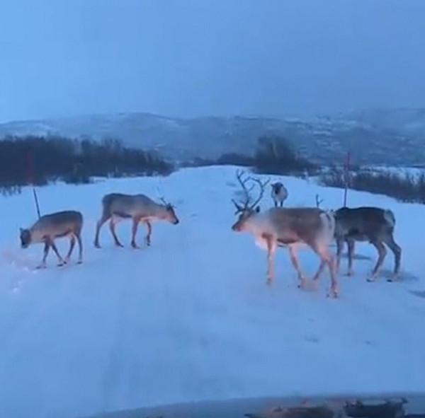挪威特色!驯鹿群占据路权堵塞交通