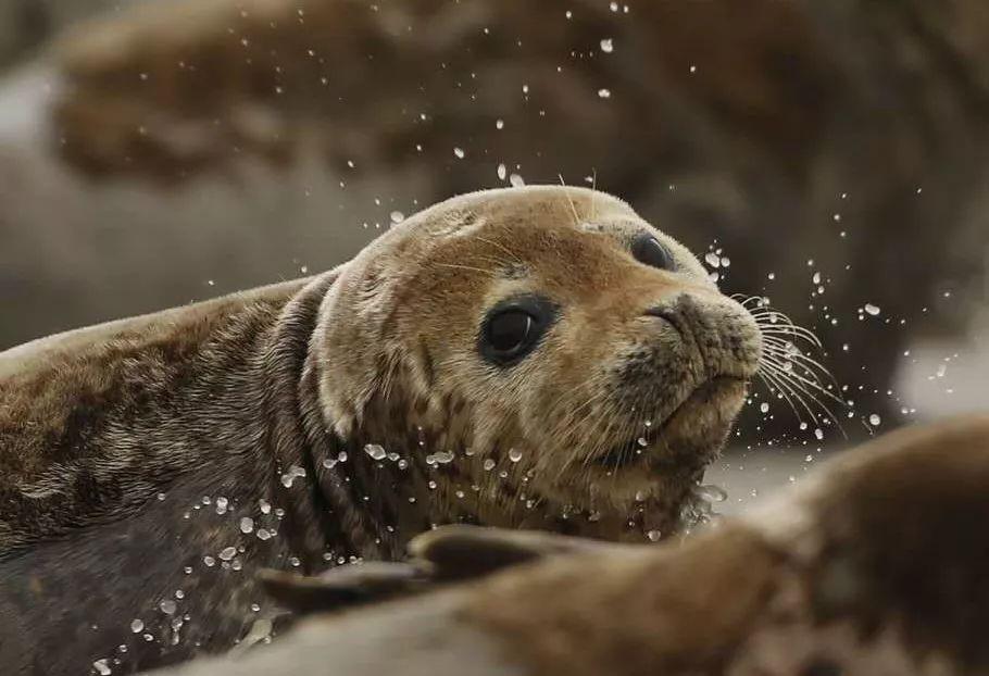 大连破获合法猎捕案,多方告急救济小斑海豹