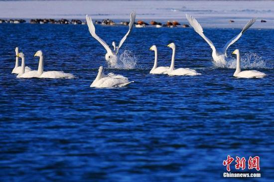 山西平陆吸引1.3万只白天鹅越冬 即将北归西伯利亚