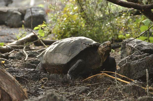 消失110年又重现!偏远海岛上发现极度濒危巨龟