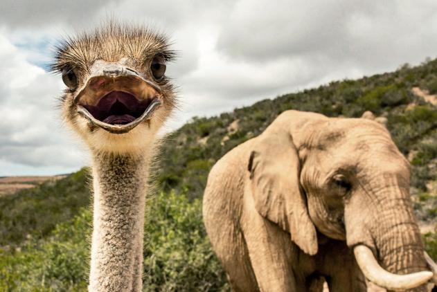 南非一鸵鸟混迹象群长大 跨种族友谊萌坏了