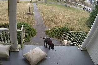 团伙作案!美国两宠物狗配合叼走邻居门外快递