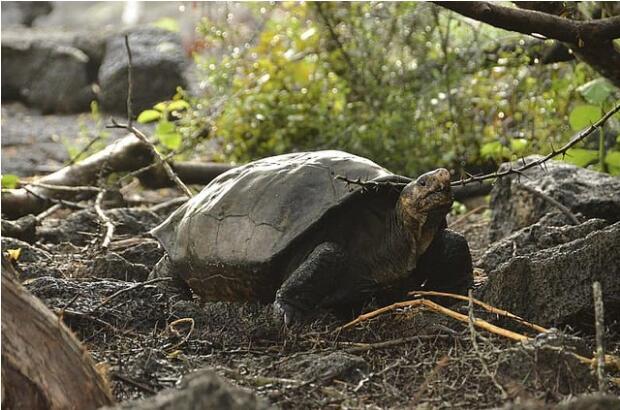 加拉帕戈斯群岛发现被认为已灭绝百年的巨型龟