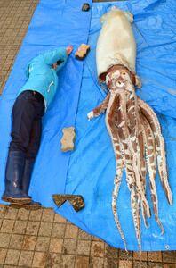 日本近海发现一只大王乌贼尸体,全长3.4米