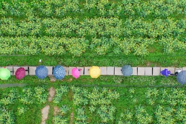 广州游客雨中畅游油菜花海