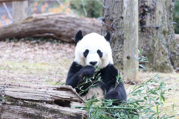 美国国家动物园熊猫馆重装亮相 华盛顿民众为熊猫暖居