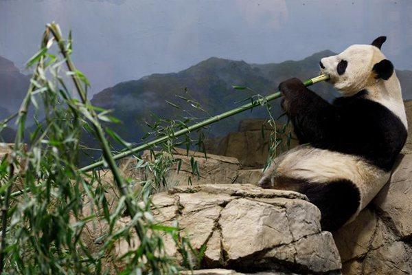 人气爆棚!美国国家动物园大熊猫馆开派对