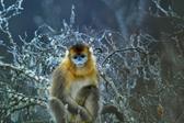 四川夹金山雪中森林出现大量川金丝猴