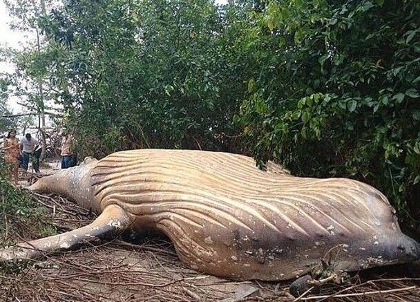 在巴西丛林惊现10吨重座头鲸尸体 连专家都啧啧称奇