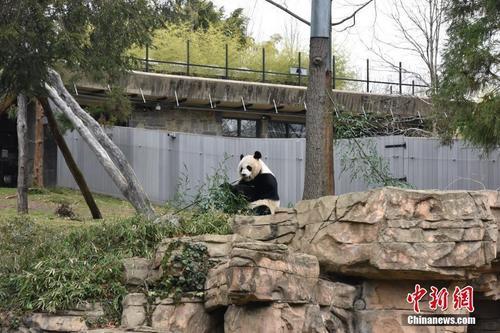 美国动物园负责人:大熊猫是全世界最受欢迎的动物