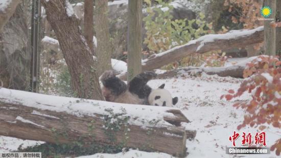 美动物园负责人:大熊猫玲玲和兴兴它们是美国人民热爱的偶