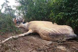 座头鲸尸体空降亚马逊丛林 如何上岸引专家困惑