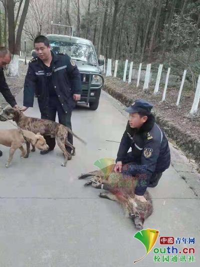 四川一高校寒假期间有野猪出没,警民历时19天将其成功捕获
