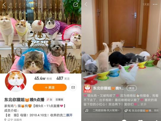 """宠物直播达人""""东北你猫姐"""":7猫1狗1鸡的""""大片""""总导演"""