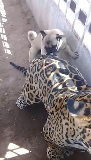 豹子的屁股摸不得?巴哥犬表示不服气