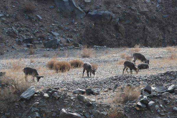 黑河大峡谷甘肃肃南段野生动物频现