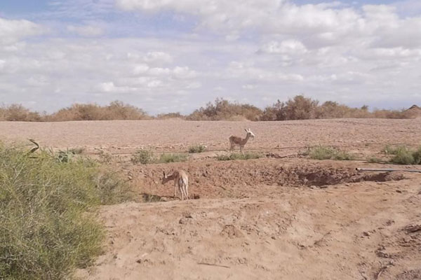 敦煌西湖保护区建自动化饮水点 野骆驼、猞狸成常客